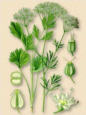 Анис обыкновенный Anisum vulgare Gaertn. (Pimpinella anisum L.)