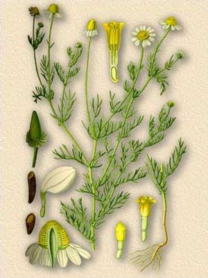 Ромашка аптечная — matricaria chamomilla l