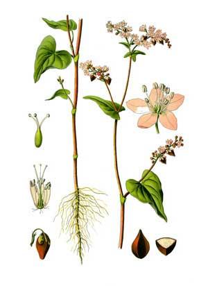 Гречиха посевная — Fagopyrum sagittatum Gilib.
