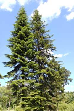 Пихта сибирская — Abies sibirica Ledeb.