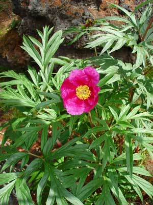 Пион уклоняющийся — Paeonia anomala L.