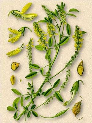 Донник лекарственный — Melilotus officinalis (L.) Pall.