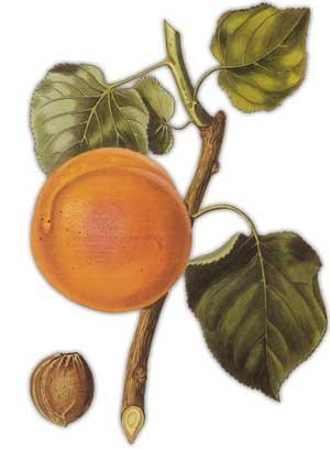 Как появился абрикос