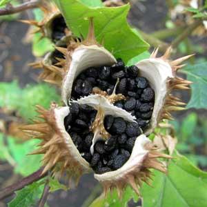Дурман обыкновенный – где растет, как выглядит трава дурман? Ядовитое растение дурман – лечебные свойства, применение в народной медицине