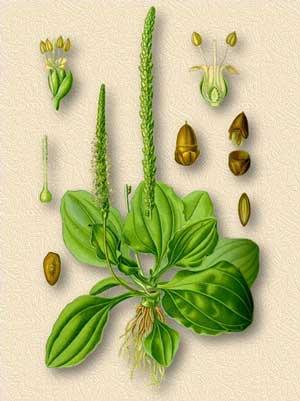 Вегетативное размножение подорожника