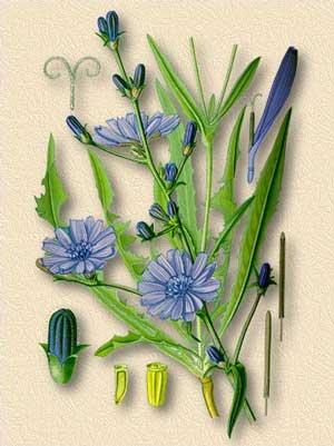 Цикорий растение описание