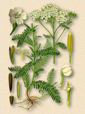 Тысячелистник обыкновенный — Achillea millefoluim L.
