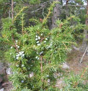 Можжевельник обыкновенный — Juniperus communis L.