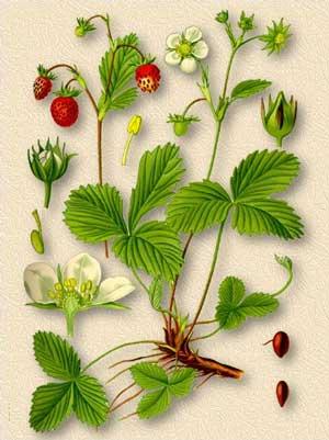 Земляника описание растения