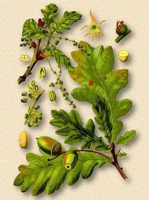 Дуб обыкновенный описание кора листья