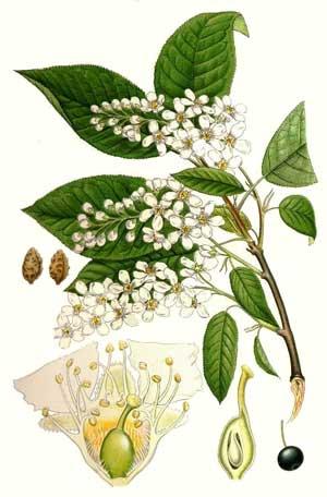 Черемуха обыкновенная фото описание плоды дерево состав