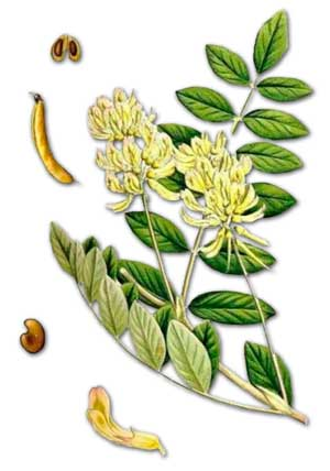 Астрагал шерстистоцветковый — Astragalus dasyanthus Pall.