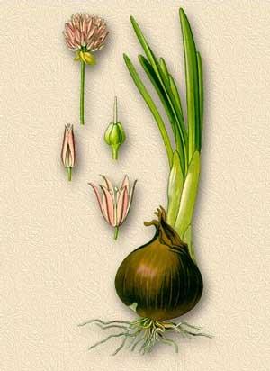 Особенности строения лука и его корневой системы