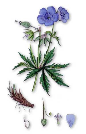 Герань луговая — Geranium pratense L.