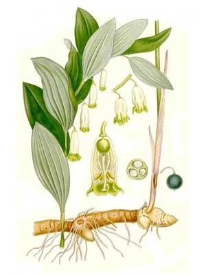 Купена лекарственная — Polygonatum officinale All.