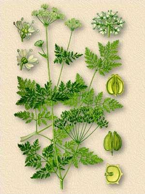 Болиголов пятнистый — Conium maculatum L.
